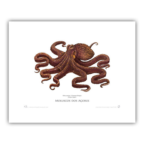 Limited Edition Print - Common Octopus (50 x 40cm)