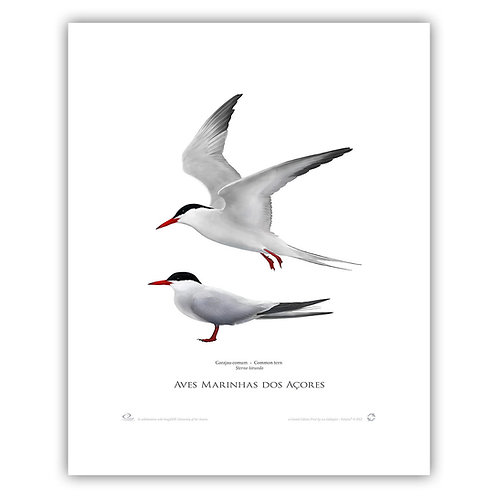 Limited Edition Print - Common tern  40x50cm