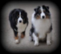 berger américain miniature noir tricolore deux yeux bleu (2 BET) et berger américain miniature bleu merle import USA