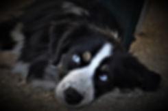 berger américain miniature noir tricolore deux yeux bleu (2 BET)