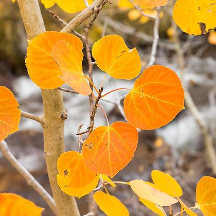 Fall Aspen Leaves, Creekside