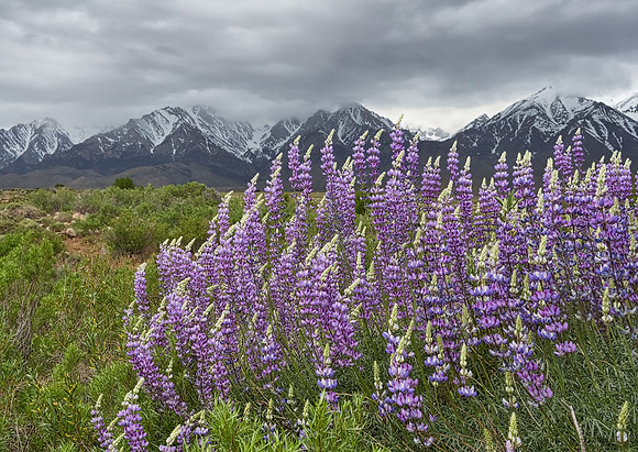 Lupine Along Independence Creek
