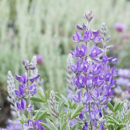 Bodie Lupine Wildflowers