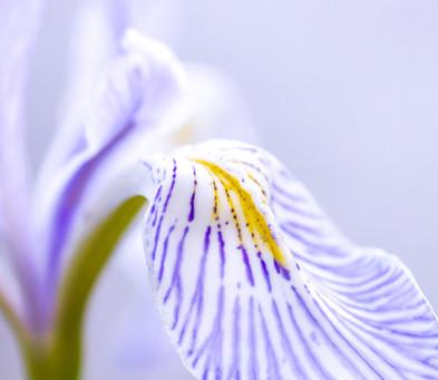 Soft Wild Iris, HF29.jpg