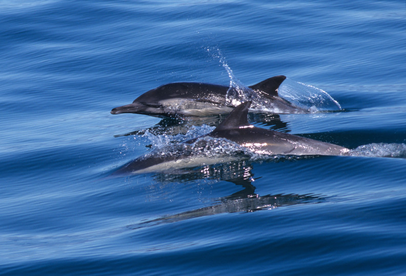 Double Dolphins and Reflections, Don Kreuter, DK122.jpg