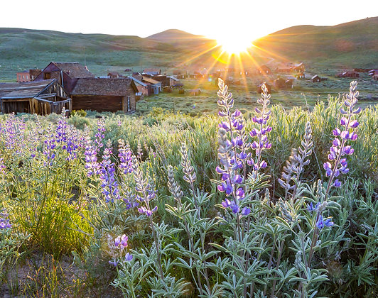 Green Street Lupines at Sunset in Bodie