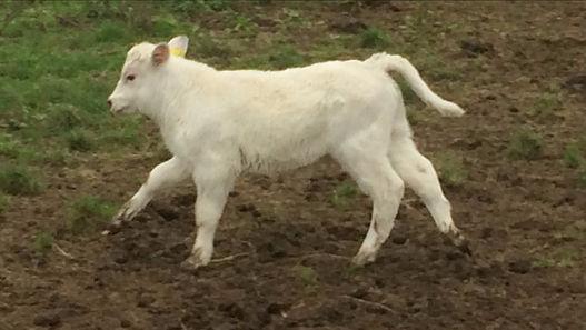 Speckles Ferdinand was the cutest calf.