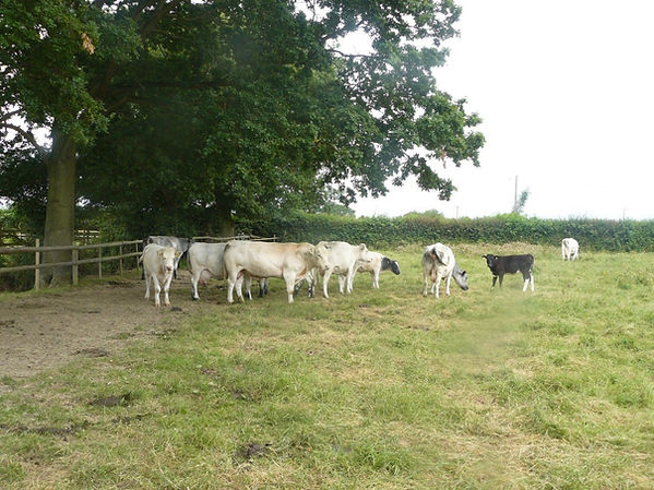 The Speckles herd in the 1990s.