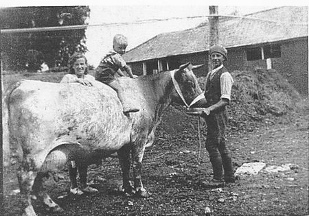 A blue albion cow in 1933