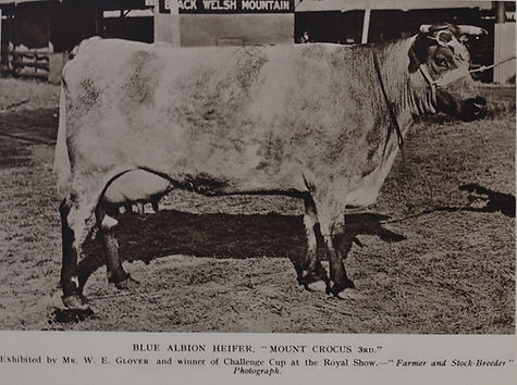 An Albion heifer from the past