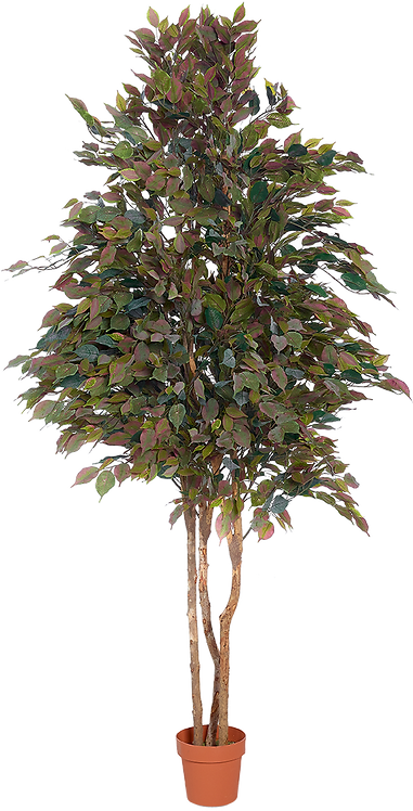 Grey Ficus tree