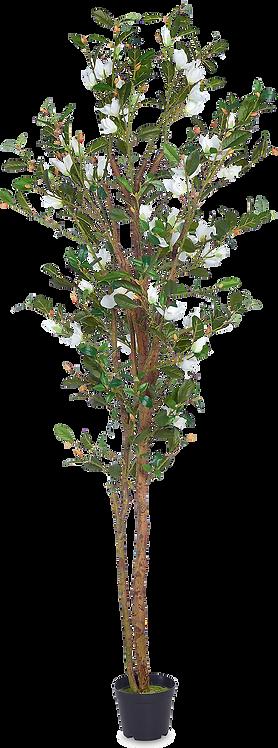 Magnolia tree 300 cm