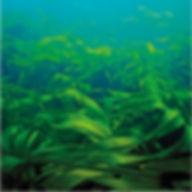 Padina Pavonica, algues vertes et Chlorella assurant une meilleure élasticité et fermeté de la peau