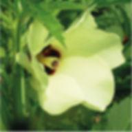Gombo  Riche en anti-oxydants, cette plante a un effet tenseur liftant immédiat sur la peau.     Propriétés :  • Anti âge  Hydratante   Effet tenseur