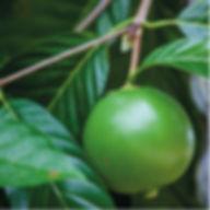 Borojoa  Un boost naturel contre les effets du temps issu de la pulpe de Borojo, naturellement riche en amino-acides et minéraux, il est unredoutableactif anti-âge. Il stimule l'activité des Sirtuines, inhibe l'activité de la β-Galactosidase et prolonge le fonctionnement des cellules cutanées.De plus le Borojoa permet derégénérerla matrice extracellulaire grâceà la stimulation de lasynthèsed'acide hyaluronique.  Résultat des tests in Vivo dès 28 jours :  71% disent avoir une peau plus lisse  76% disent avoir une peau plus ferme    Propriétés : antioxydante, anti-age,  inhibitionde lasénescencecellulaire, stimulation de lasynthèsede l'acide hyaluronique.