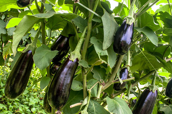 Eggplant in the garden. Fresh organic eg