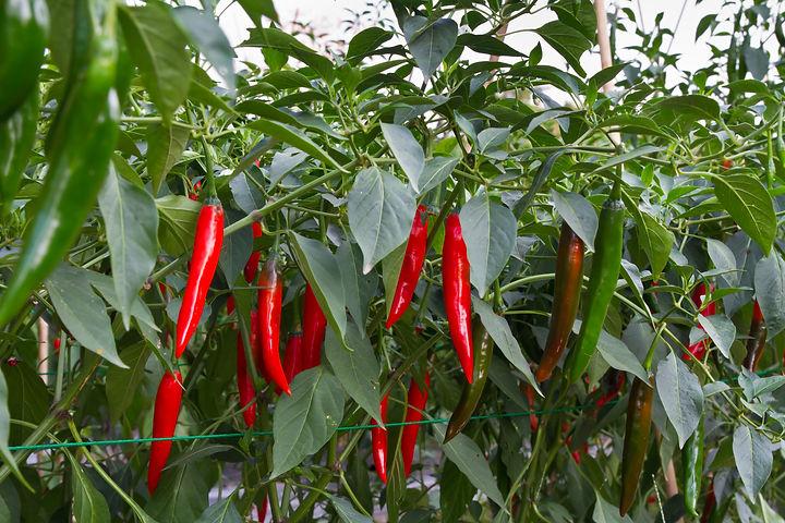 Chili farm.jpg