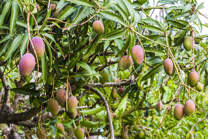 close up of mango fruit on a mango tree.