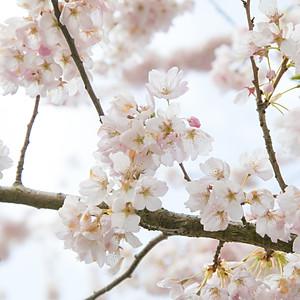 Flor the Cerejeira