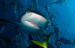 Hello Shark