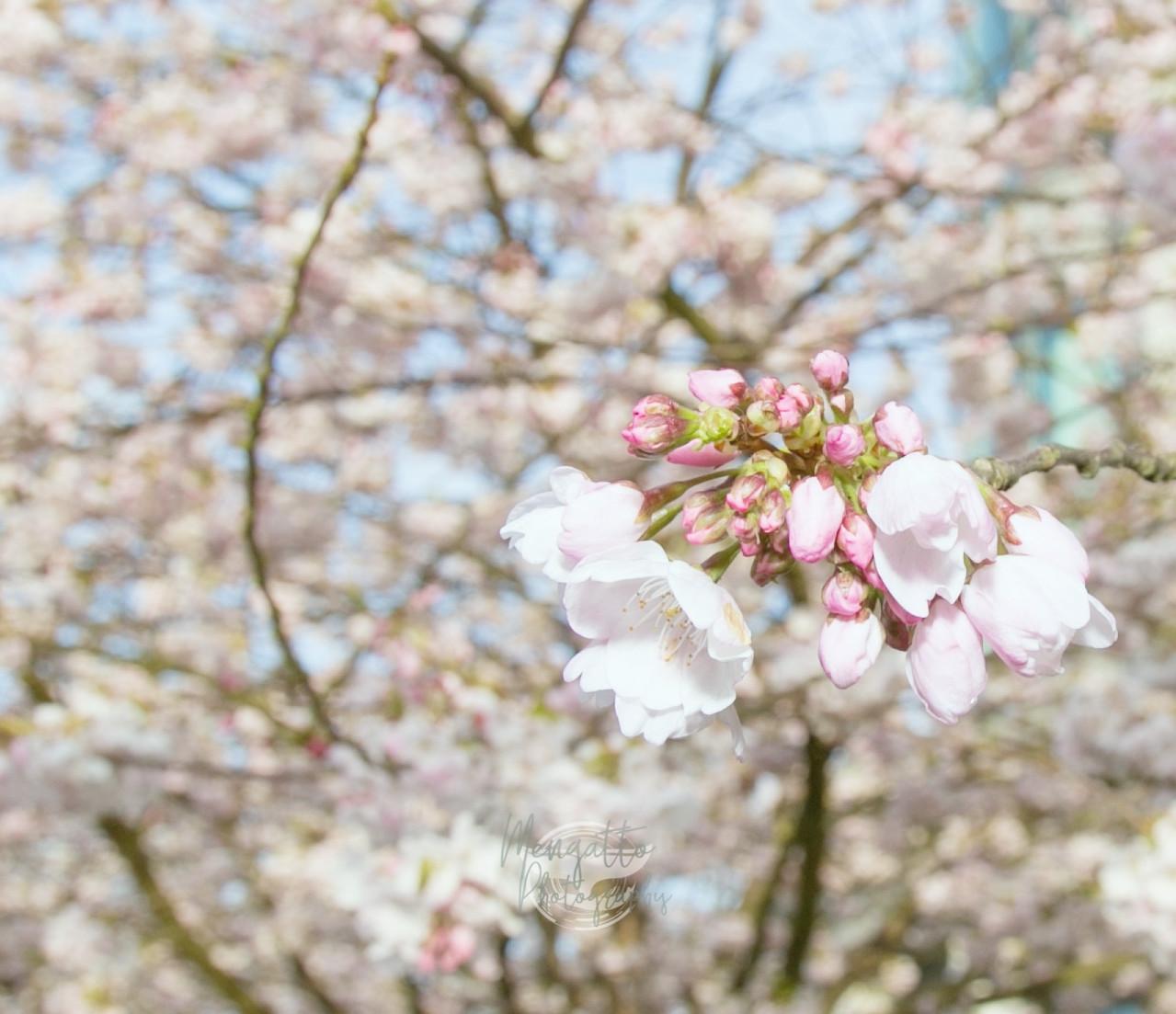Cherry Blossom by Cris Mengatto