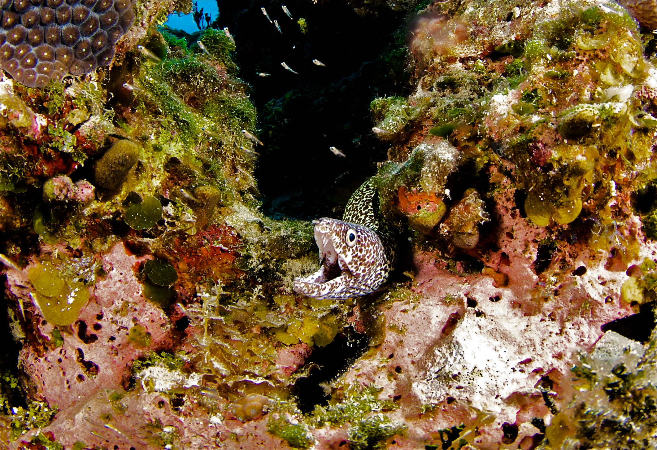 Golden Spotted Moray Eel