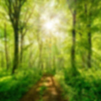 Footpath through Natural Forest of Beech