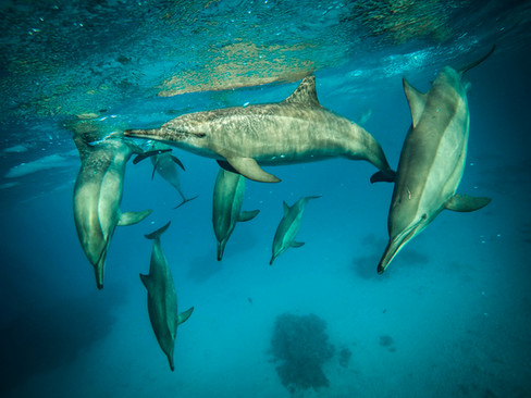 Dauphins libres