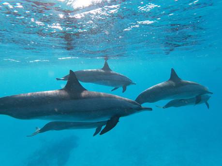 Nage avec des dauphins libres