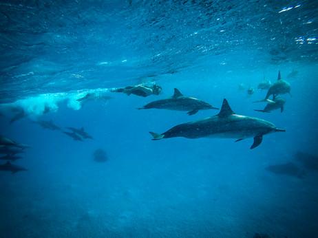 Au milieu des dauphins