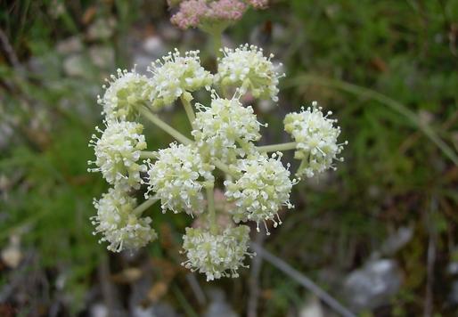 Seseli montanum L. (Apiaceae)