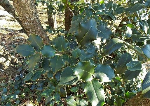 Ilex aquifolium L. (Aquifoliaceae)