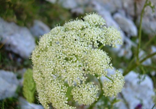 Coristospermum cuneifolium (Guss.) Bertol. (=Ligusticum lucidum Mill. subsp. cuneifolium) (Apiaceae)