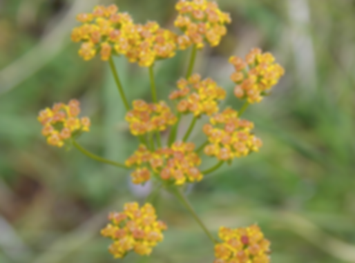 Bupleurum falcatum L. (Apiaceae)