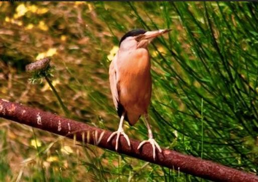Tarabusino (Ixobrychus minutus)