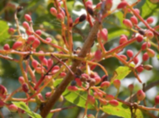 Pistacia terebinthus L. (Anacardiaceae)