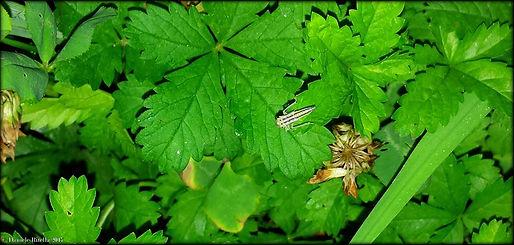 Cicadella viridis (Linnaeus, 1758)