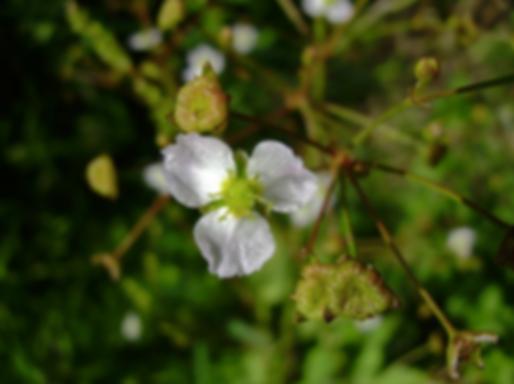 Alisma plantago-aquaticaL. (Alismataceae)