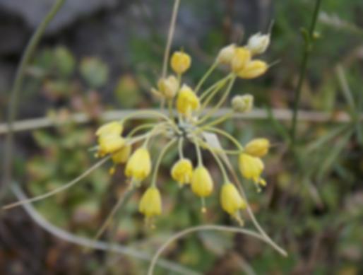 Allium flavumL. (Amaryllidaceae)