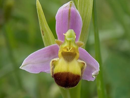 Ophrys apifera var. bicolor (Nägeli) E. Nelson