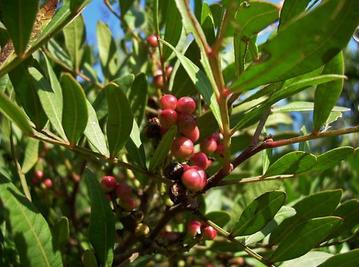 Pistacia lentiscus L. (Anacardiaceae)