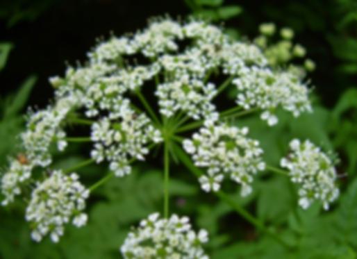 Anthriscus sylvestris (L.) Hoffm. (Apiaceae)
