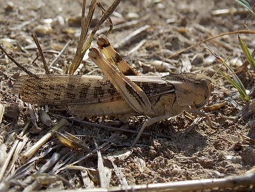 Locusta migratoria (Linnaeus, 1758)