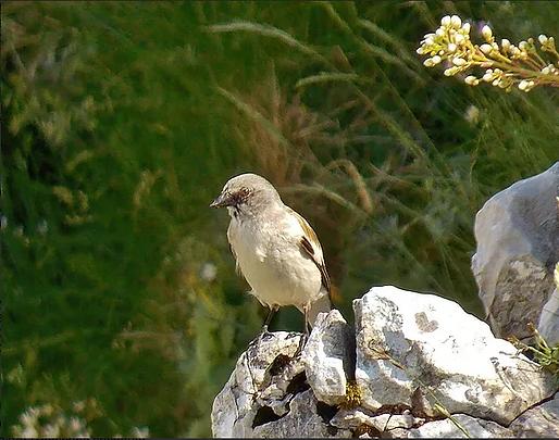 Fringuello alpino (Montifringilla nivalis)