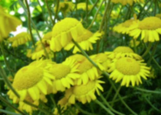 Anthemis tinctoria L.[=Cota tinctoria (L.) J.Gay] (Asteraceae)les alpina (L.) Bluff & Fingerh. (Asteraceae)