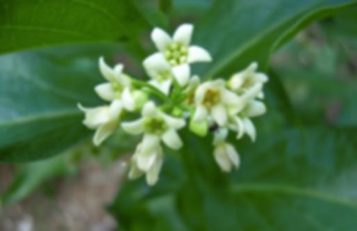 Vincetoxicum officinale Moench (=V.hirundinaria Medicus) (Apocynaceae)