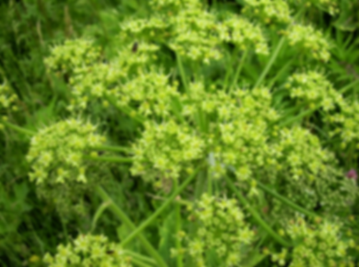 Heracleum sphondylium L. (Apiaceae)