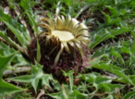 Carlina acanthifolia All. subsp. acanthifolia (Asteraceae)cilaena erecta (L.) Smoljan. (Asteraceae)
