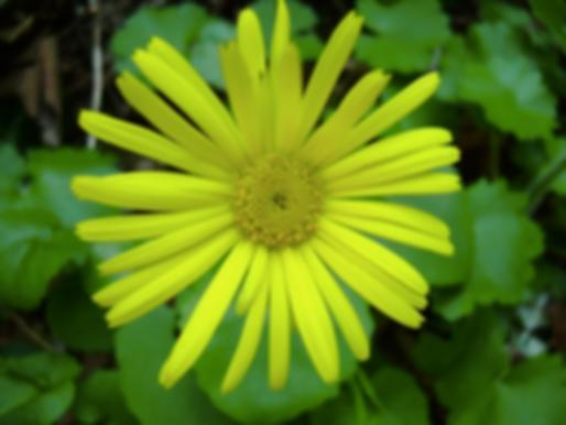 Doronicum columnae Ten. (Asteraceae)
