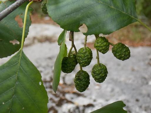 Alnus glutinosa (L.) Gaertn. (Betulaceae)